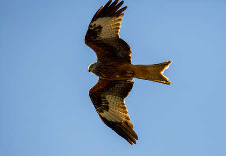 Red kite in the air