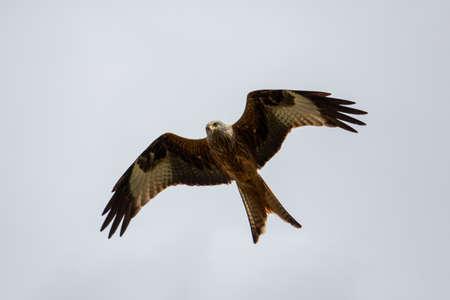 red kite in the air Standard-Bild
