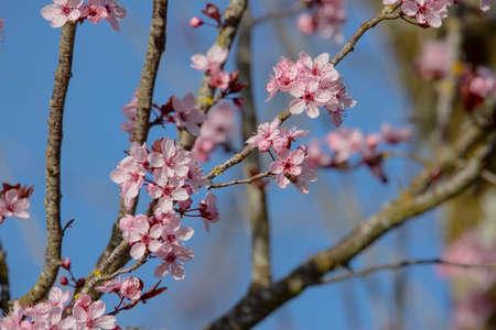 Japanese plum tree in blossom
