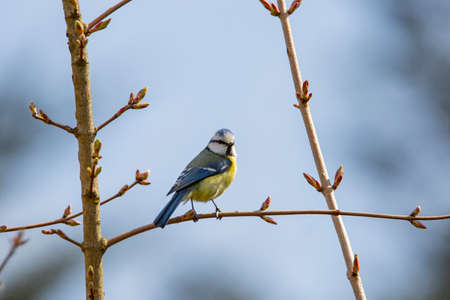 blue tit in garden spring time Standard-Bild