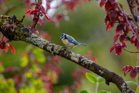 blue tit on tree in garden