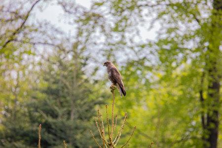 common buzzard on a fir