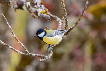 great tit in garden spring time Standard-Bild
