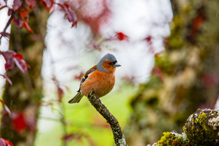 chaffinch on a tree in garden spring time