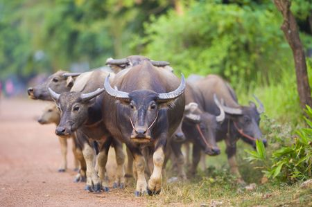 ox eye: thailand: a group of cows and buffalos walking back from their daily trip to the fields Stock Photo