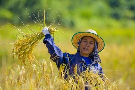 hard working woman cutting rice in the fields Stock Photo - 6064733