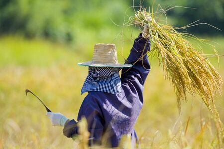 hard working woman: hard working woman cutting rice in the fields