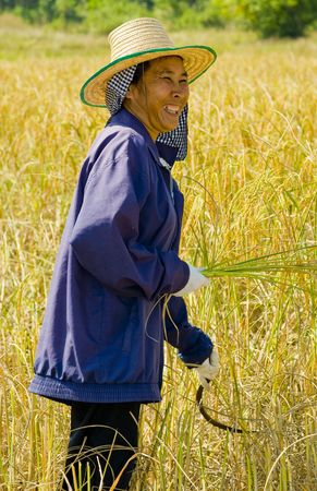 hard working woman cutting rice in the fields photo