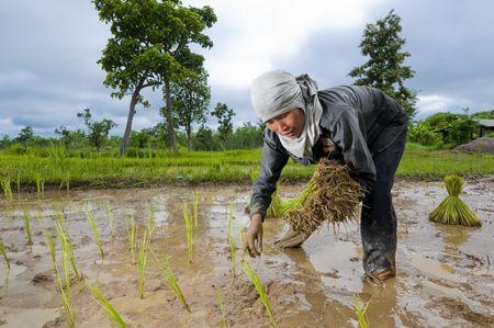 an hard working asian female farmer growing rice photo
