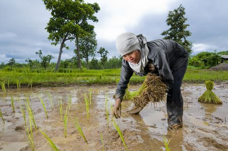field of thai: an hard working asian female farmer growing rice