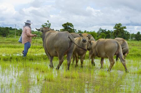 asian female farmer taking care of a herd of water buffalos and cows photo