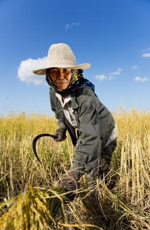 thai rice farmer harvesting Stock Photo