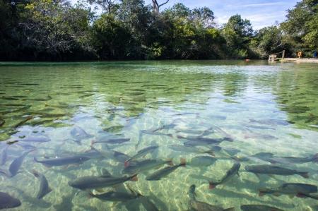river fish: Clear River in Bonito, Brasil