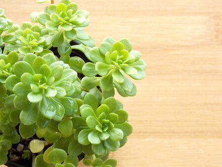 succulent: Succulent on wooden