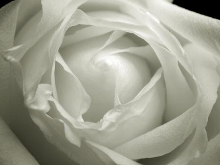 rosa negra: Primer pétalo de rosa
