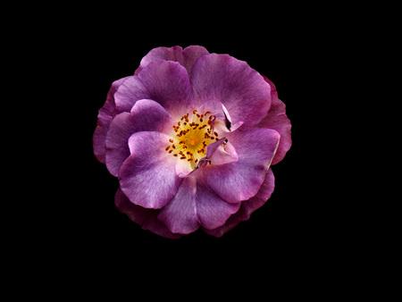 purple rose: Purple rose isolated on black