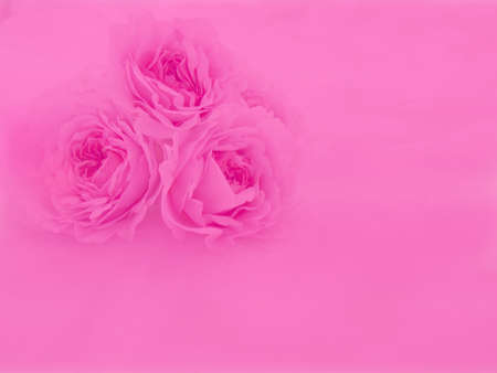 Rose in pink shade background
