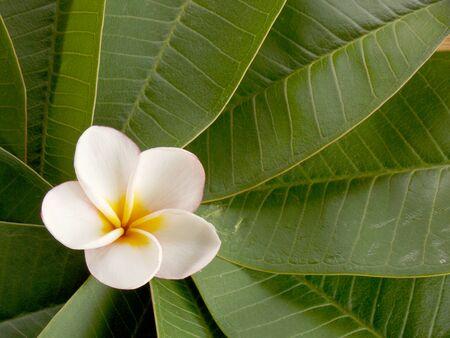 Plumeria flower on leaves