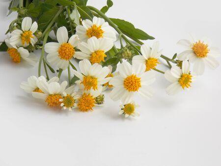 chamomile flower: Beautiful chamomile flower on white