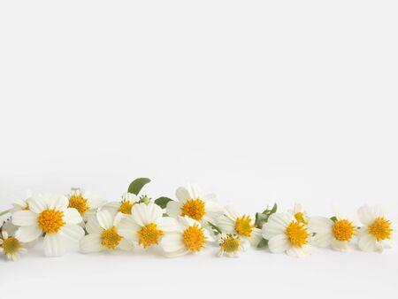 chamomile flower: Beautiful chamomile flower on white background