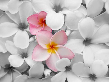 spa flower: Plumeria flower in black and white