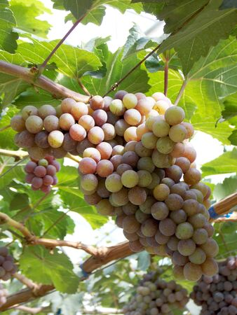 bunches: Beautiful bunches of grape in garden Stock Photo