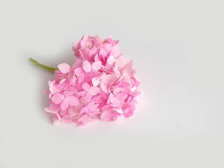hydrangea flower: Beautiful hydrangea flower