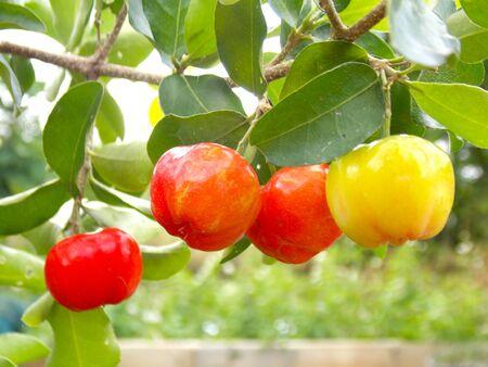 Acerola frutta ciliegio