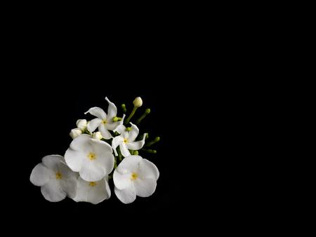Beautiful white gardenia flower Stock Photo