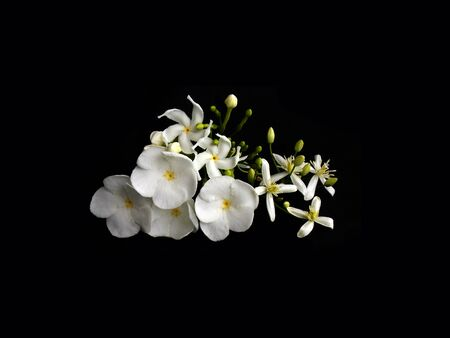 Beautiful white gardenia flower Stock Photo