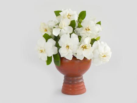 Beautiful white gardenia flower background