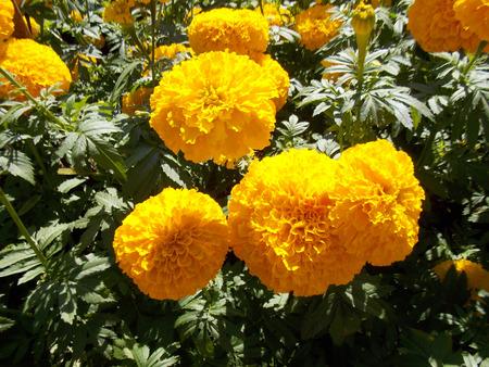 tree marigold: Marigold farm in Thailand