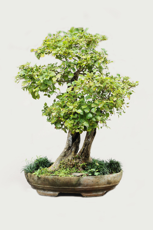 Bonsai isolated on white background.