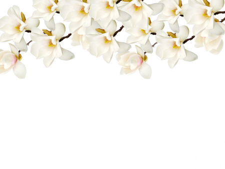 Magnolia flower isolated on white background. 版權商用圖片