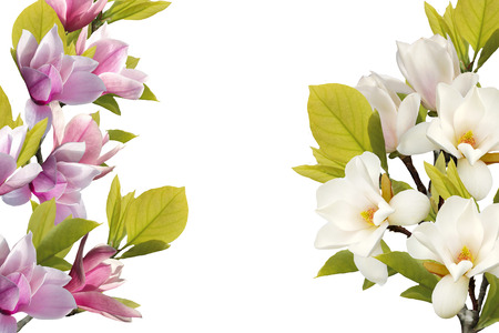 Beautiful magnolia flower isolated on white background.