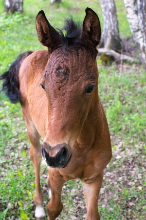 A little curious foal Stock Photo