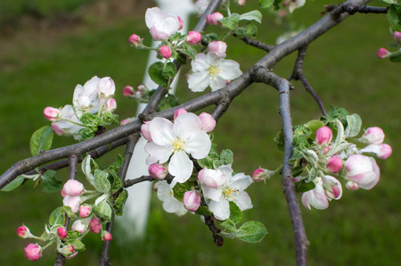 Branch of Apple tree. Beautiful white flowers.