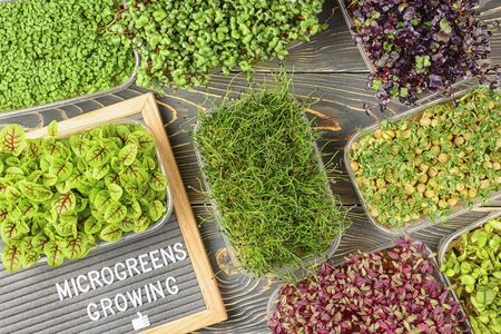 On a dark wooden background, boxes with microgreens of Red Basil, Onion Jusai, Sorrel, Peas, Amaranth. Super food. A felt board with the words Microgreens Growing.