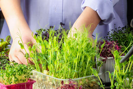 The process of growing useful microgreens, young shoots of greenery. Home garden. Stockfoto