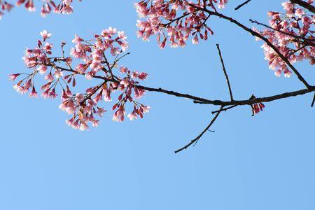 chiangmai: Beautiful Thailand's cherry blossom, Chiang Mai, Thailand