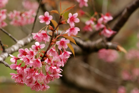 Beautiful Thailand's cherry blossom, Chiang Mai, Thailand photo