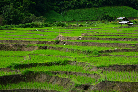 The pattern of Green Terraced Rice Field in Chiangmai, Thailand photo