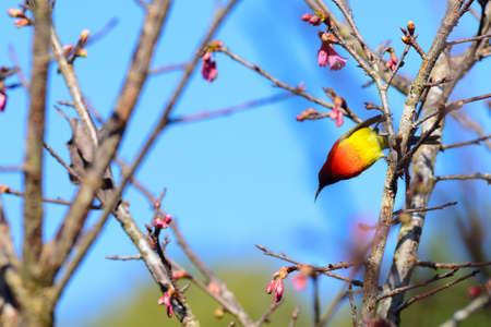 chiangmai: bird with Thailand s cherry blossom