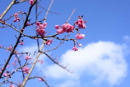 chiangmai: Beautiful Thailand cherry blossom, Chiang Mai, Thailand Stock Photo