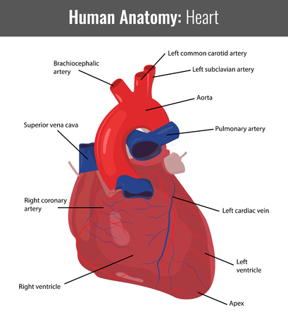 infarct: Human Heart detailed anatomy. Vector Medical illustration.