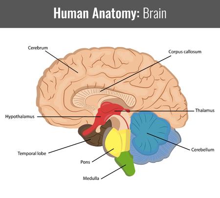Human Brain gedetailleerde anatomie. Vector Medische illustratie. Vector Illustratie