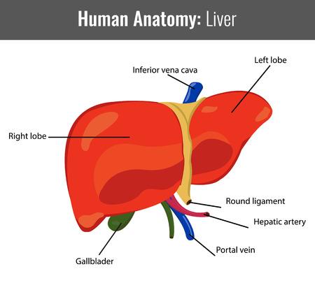 Human Liver detailed anatomy. Vector Medical illustration.
