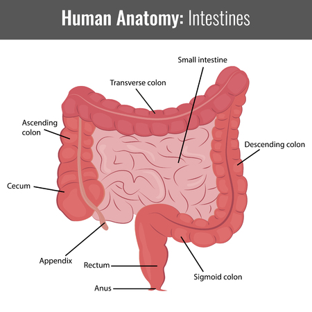 appendix: Human Intestines detailed anatomy. Vector Medical illustration.