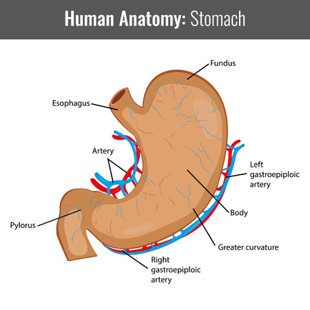 stapled: Human Stomach detailed anatomy. Vector Medical illustration.