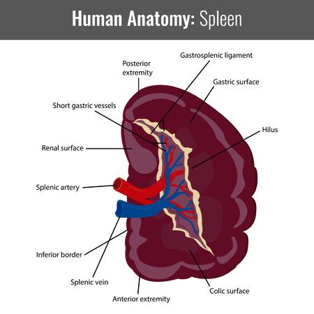 Human Spleen detailed anatomy. Vector Medical illustration.